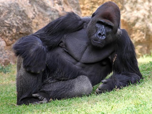В США у горилл из зоопарка обнаружили COVID-19