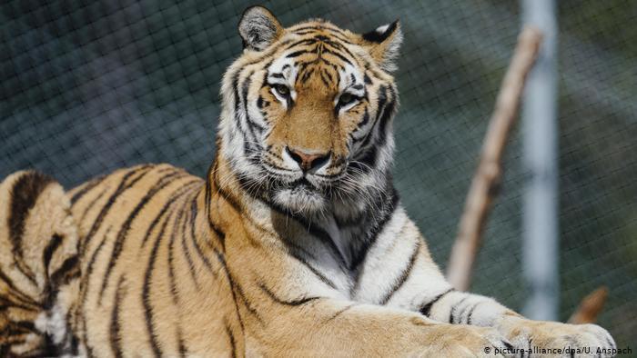 Тигр откусил годовалому ребенку палец в зоопарке в Крыму: мать поднесла сына к клетке (фото)