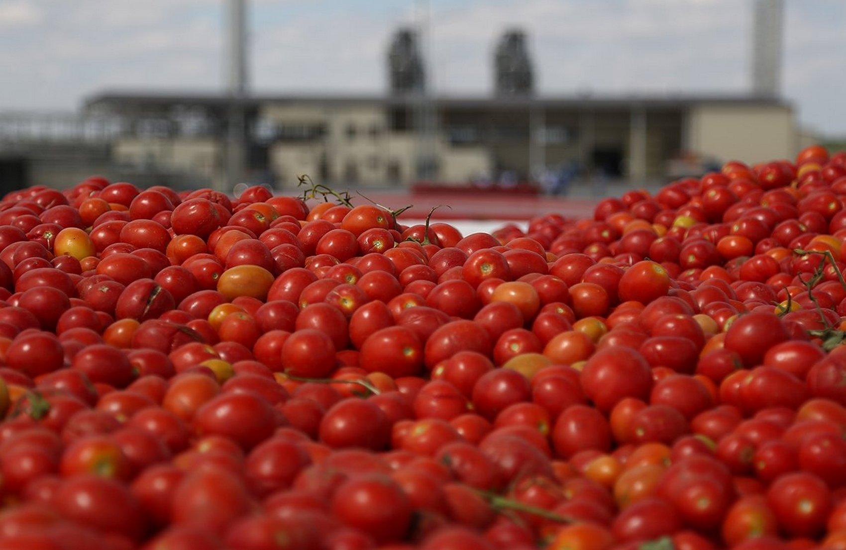 Под Херсоном фермеры выбрасывают помидоры из-за низкого спроса (видео)